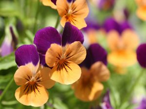 Flowers with petals orange and violet