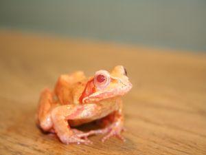 Orange color frog