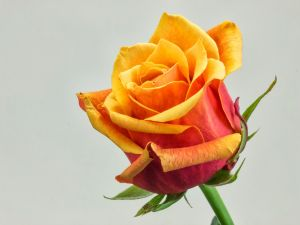 Rose orange colored