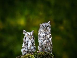 Two sleepy owls
