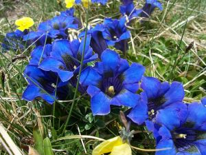 Blue flowers in The Apennines (Italy)