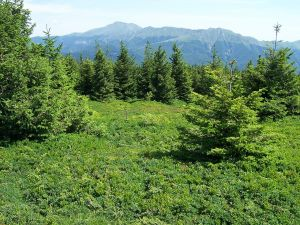 "Picea Abies, ""Foce di Campolino"" (Apennines, Italy)"