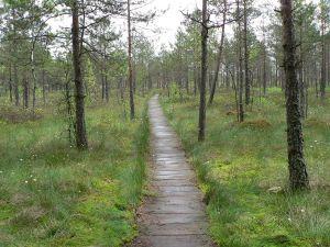 Marshes Cepkeliu in Dzūkija National Park, near Marcinkonys (Lithuania)