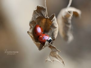 Ladybugs on a dried leaf