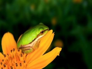 Small frog on a orange flower