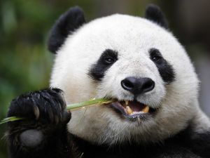 Panda eating a bamboo branch