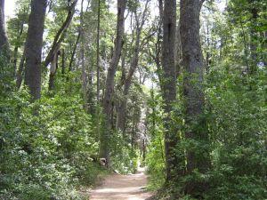 The Coihue forest, in the Quetrihué Peninsula (Neuquén, Argentina)