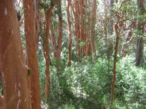 "Myrtle Forest (Luma apiculata) in National Park ""Los Arrayanes"" (Argentina)"