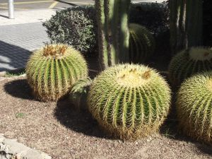 Rounded cactus