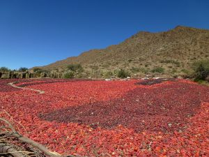 Peppers in Cachi, Province of Salta (Argentina)