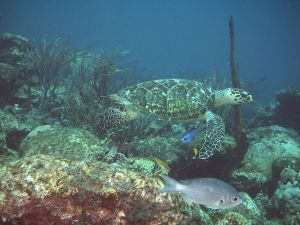 Aquatic fauna of the Caribbean Sea, in Venezuela