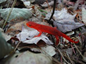 Nice red amphibian