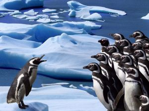 Meeting of penguins