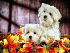 Two cute white puppies