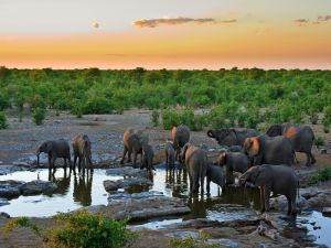 Elephants drinking water in the African savannah