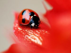 Ladybug on a red flower