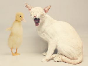 A cat with a duck