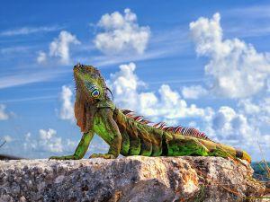 Iguana to sun