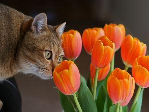 Cat sniffing some tulips
