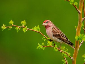 Red head bird on a branch
