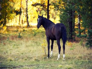 Black horse with white legs