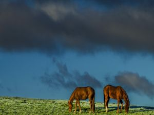 Horses eating grass