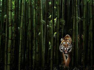 Tiger among bamboo