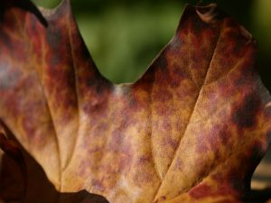 Brown leaf in the autumn