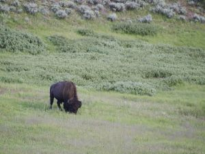 Small bison eating grass