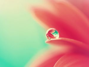 Water drop on the petal of a flower