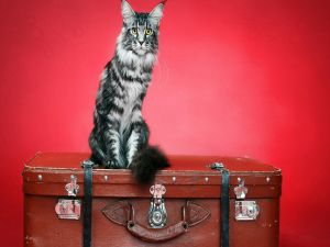Cat over a suitcase