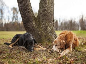 Two dogs resting under the shade of a tree