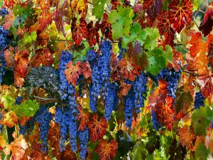 Vitis with purple grapes