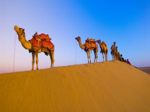 Row of camels in the desert
