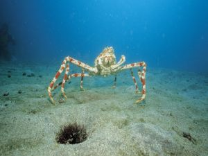 Japanese spider crab on the seafloor