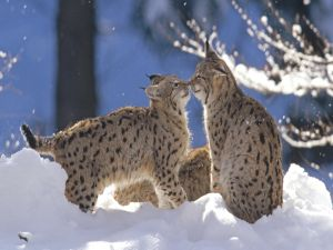 Lynxes in the snow