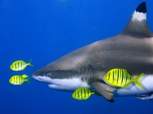 Shark with yellow fishes