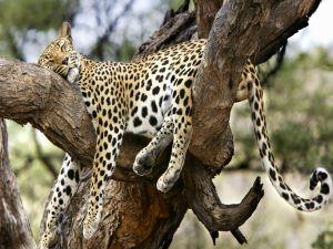 Jaguar asleep in the tree