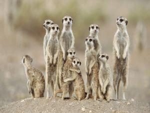 A funny meerkats