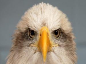 The look of an eagle
