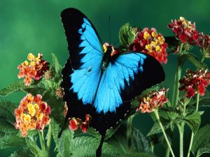 A blue and black colored butterfly