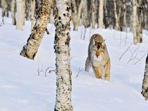 Eurasian lynx (Lynx linx)