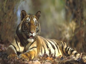 A tiger lying down in leaves