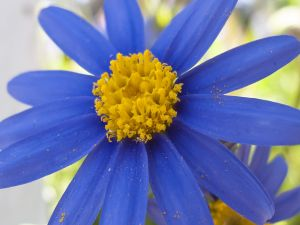 Pollen in the petals of a blue flower