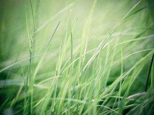 Fine green grass