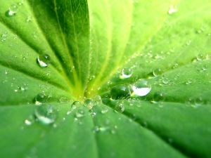 The leaf of a plant with drops of water
