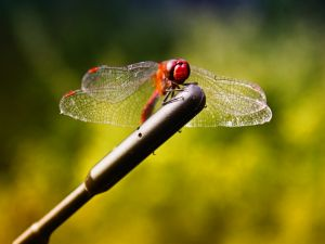 Dragonfly with red head
