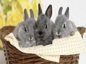 Three small gray rabbits