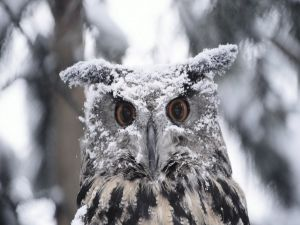Owl with snow in the head