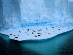 Seals sleeping on the ice